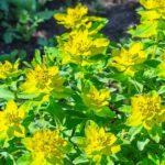 Flowering cushion spurge - Euphorbia Polychroma