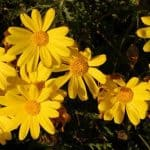 Euryops Bush Daisy Care: How To Grow Bush Daisies Plants