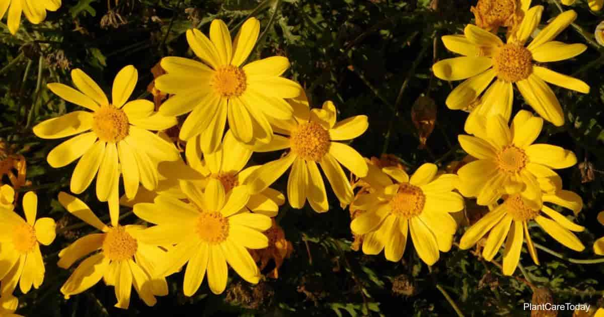 Yellow buttery blooms of Euryops Bush Daisy