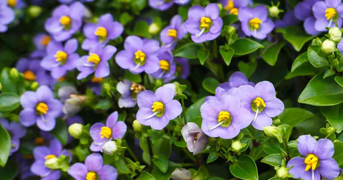 Persian violets - Exacum - with cheerful little purplish blue, yellow-throated, flat-petaled flowers on branching clusters at the top of leafy stems