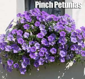 fall-petunia-083114