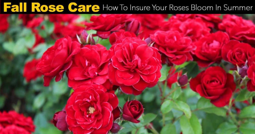 Fall Rose Care: How To Insure Your Roses Bloom In Summer