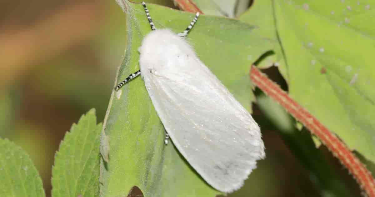 Fury Drury moth - where fall webworm caterpillars start