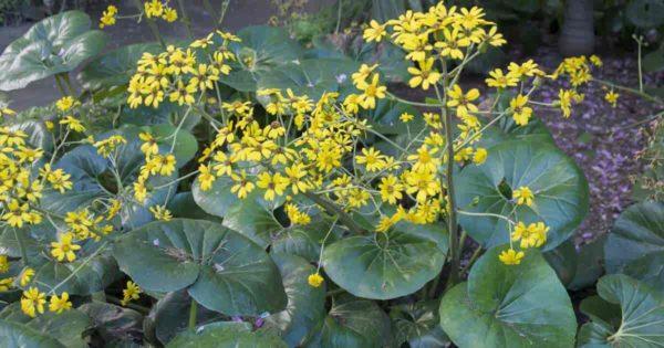 Blooming Farfugium Japonicum (Leopard Plant)