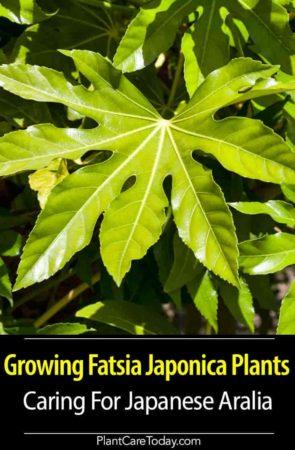 attractive Palmate leaves of Japanese Aralia - Fatsia Japonica plant