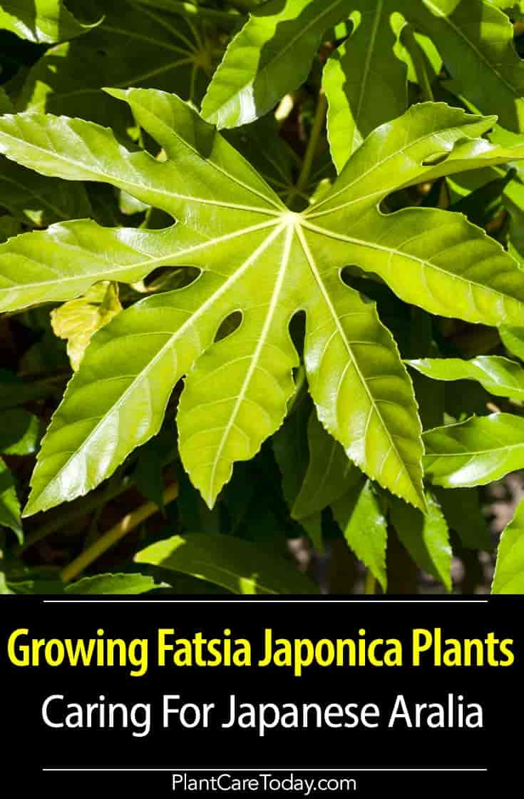 attractive Palmate leaves of Japanese Aralia - Fatsia Japonica plant