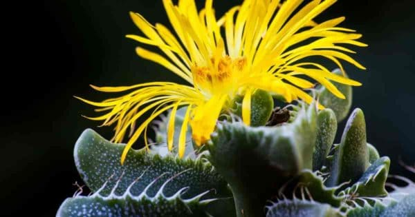 Tiger's Jaw Faucaria succulent showing off it's yellow flower