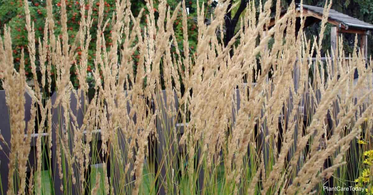 Blooming Feather Reed Grass (Calamagrostis X Acutiflora)