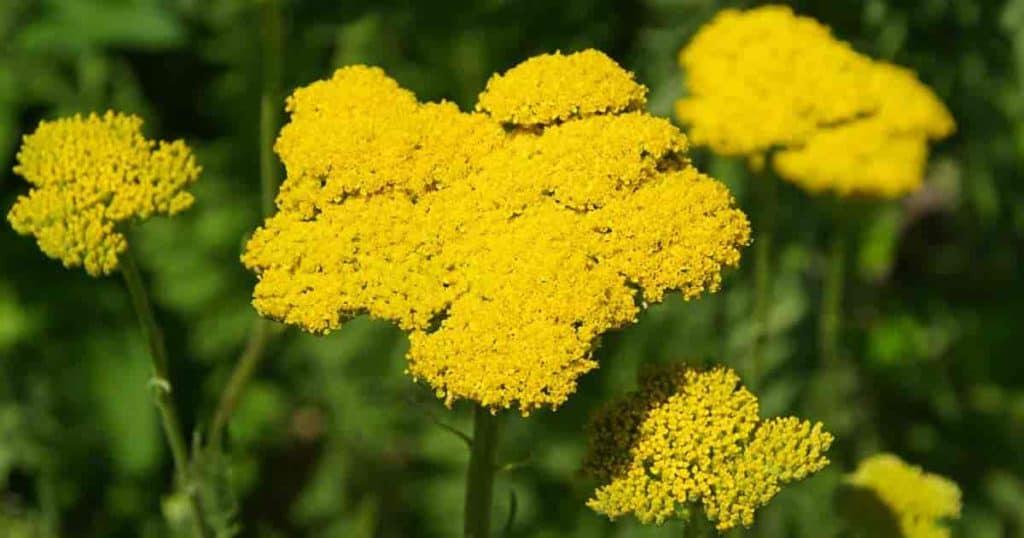 Yellow flowering perennial Achillea filipendulina yarrow