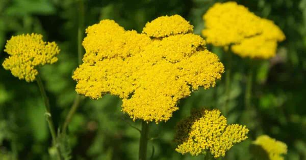 Yellow flowering perennial Achillea filipendulina yarrow