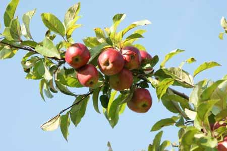 fertilize-fruit-tree-042913