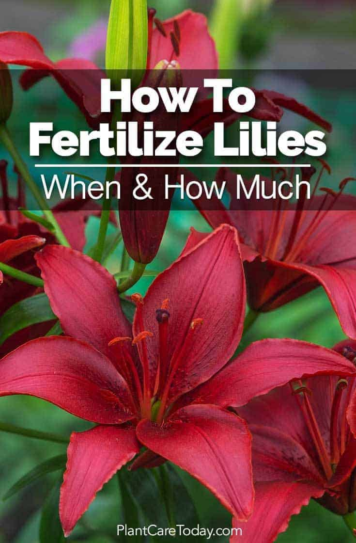 How to fertilize lilies when how much when to fertilize lilies how much lily fertilizer to use ratios organic izmirmasajfo