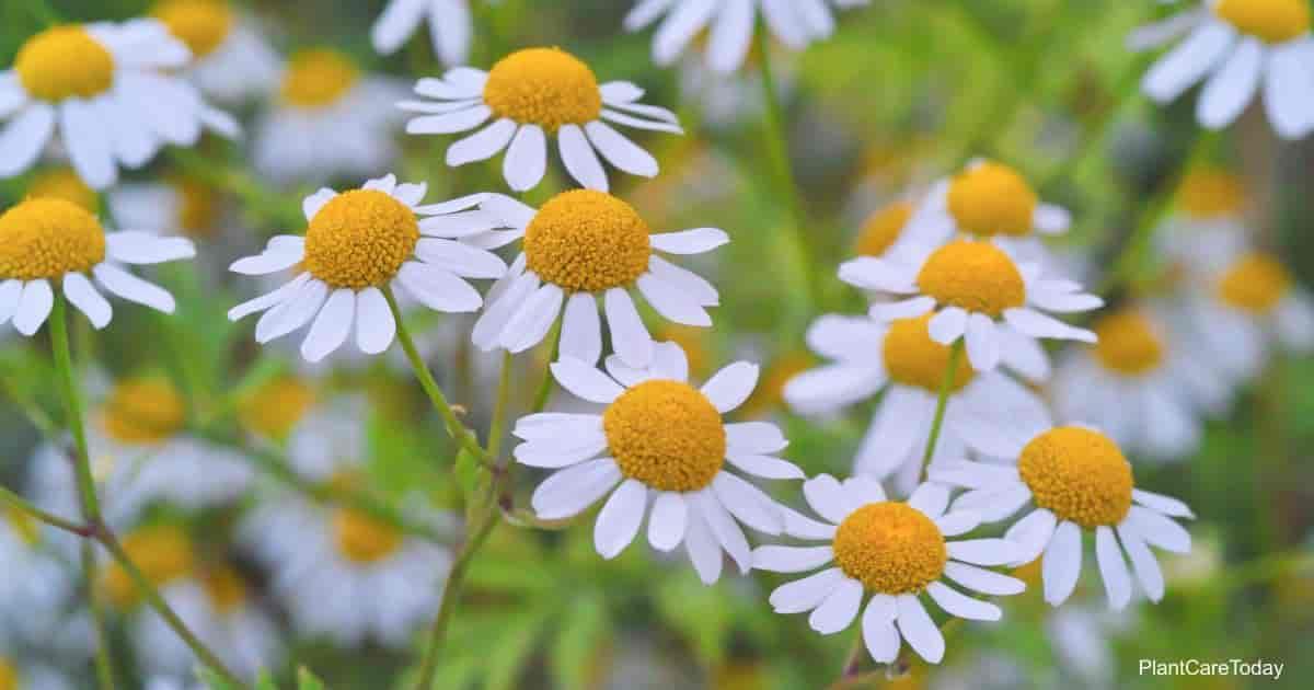Flowering feverfew plant (Tanacetum parthenium)