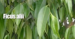 Attractive leaves of Ficus Alli the Banana leaf Ficus