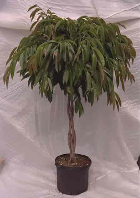 Braided Ficus Amstel King