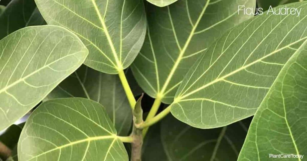 Attractive leaves of Ficus Audrey (a select variety of Ficus Benghalensis)