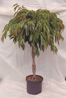 ficus-banana-leaf