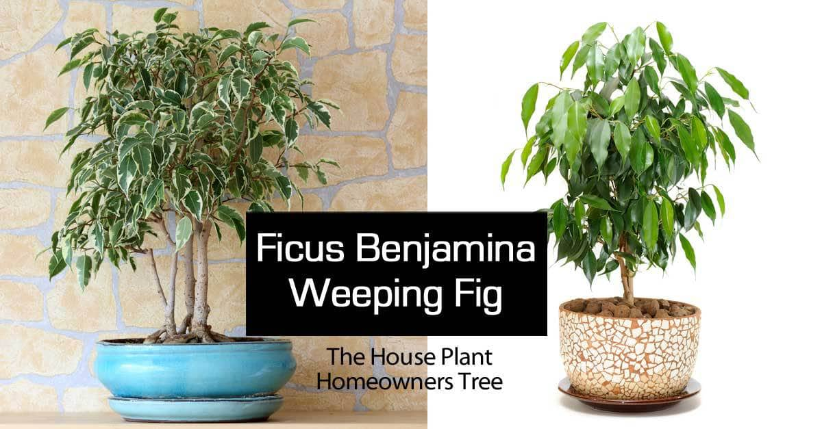 A variegated ficus benjamina and the common green weeping fig