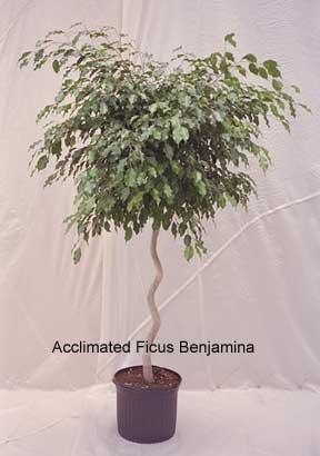 ficus benjamina acclimated