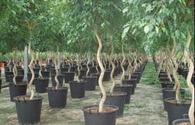 Ficus benjamina spirals growing in shade house