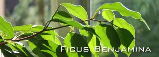ficus-benjamina-winter-550