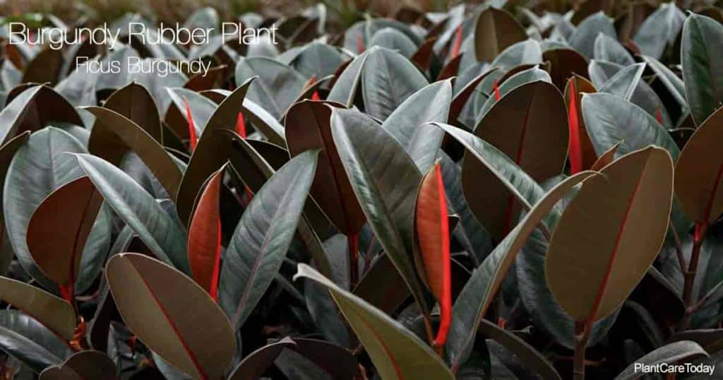 Group of Burgundy Rubber Plant aka Ficus Elastica Burgundy growing in a greenhouse