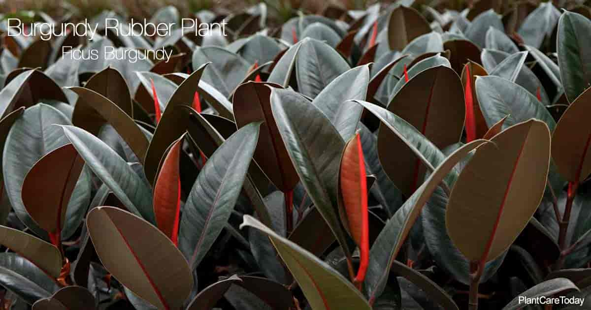 Crop of Burgundy Rubber Plant aka Ficus Elastica Burgundy growing in a greenhouse