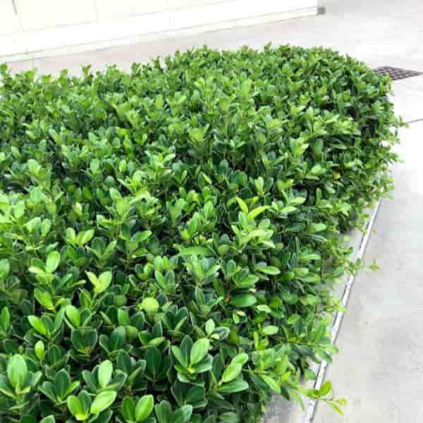 island Ficus growing as a hedge at the Kennedy Space Center, Florida