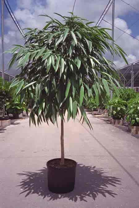 Tree form or standard Ficus Alii