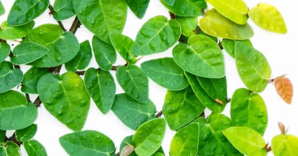 """Up close - ficus pumila """"creeping fig"""" great for climbing up walls , trellis or topiary"""