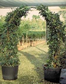 ficus tree arch