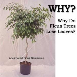 ficus tree losing leaves
