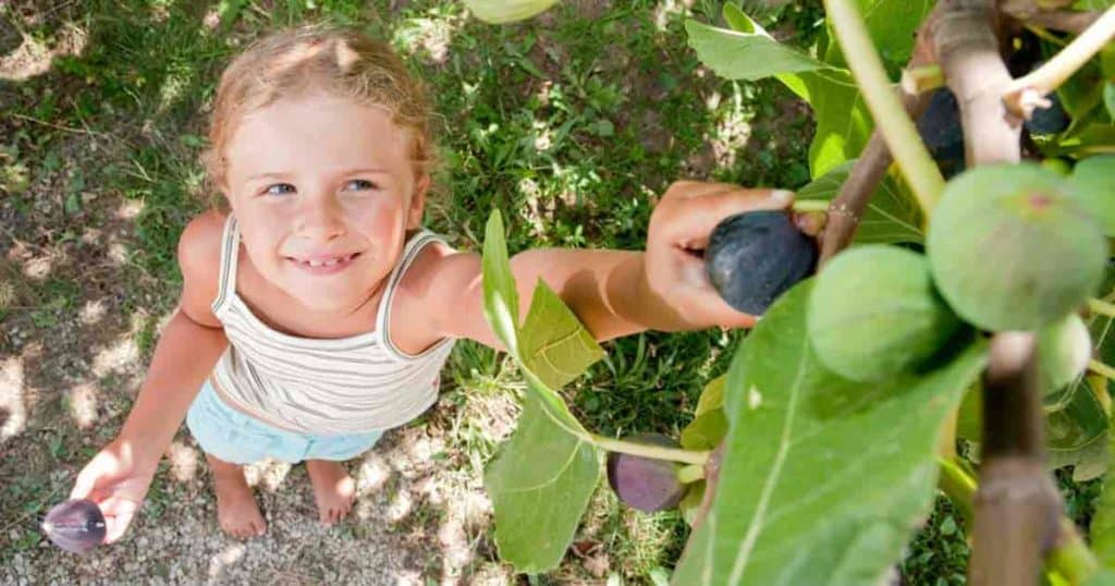 Young girl harvesting a fig