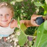 Fig Tree Care: How To Grow Fig Trees In Your Home Or Garden
