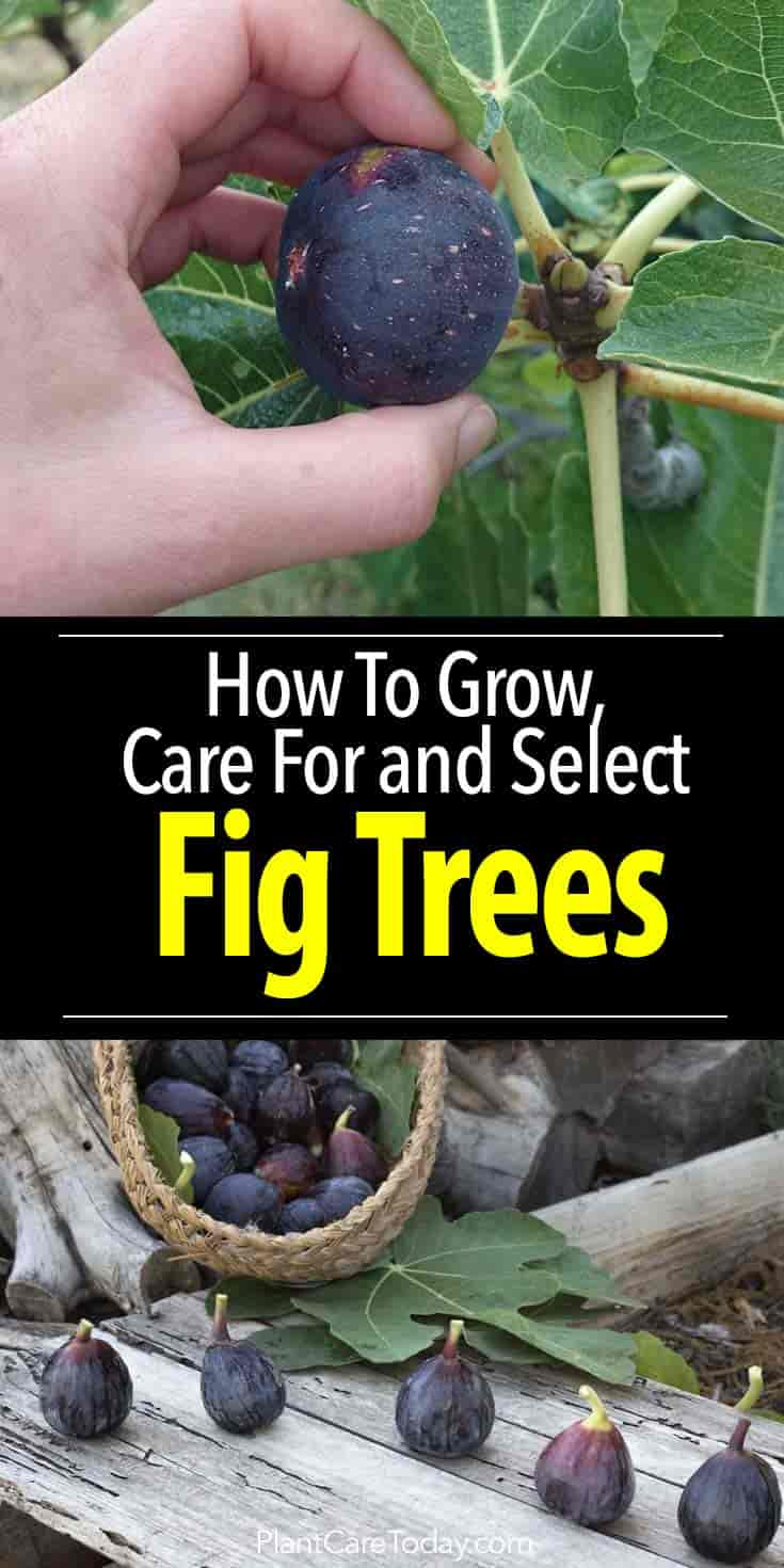 Fig Tree Care How To Grow Fig Trees In Your Home Or Garden