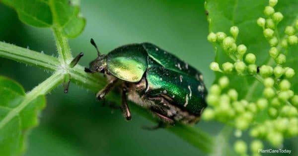 Fig Eater Beetle Feeding
