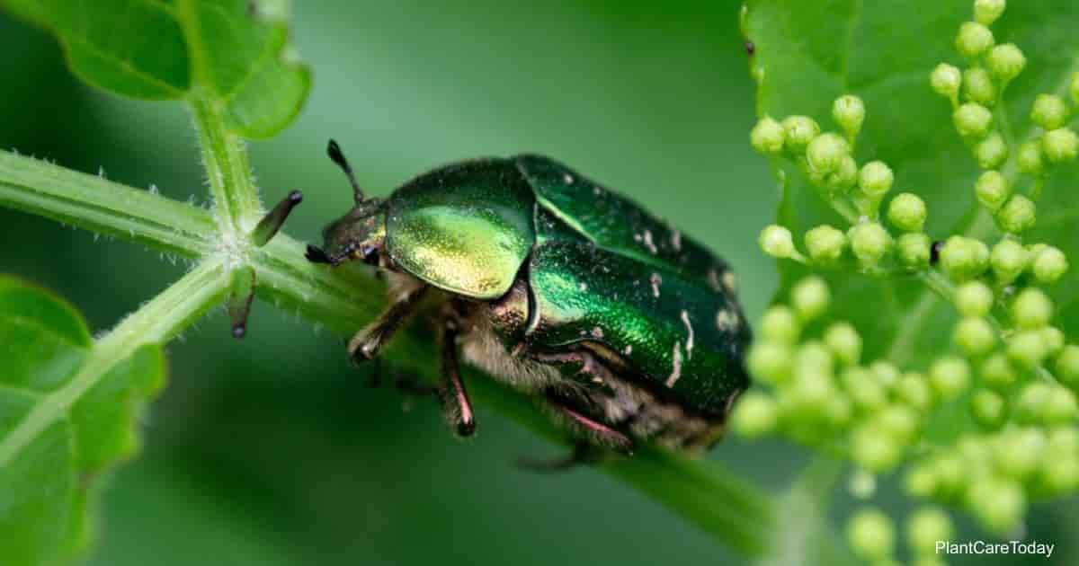 Fig Eater Beetle Feeding