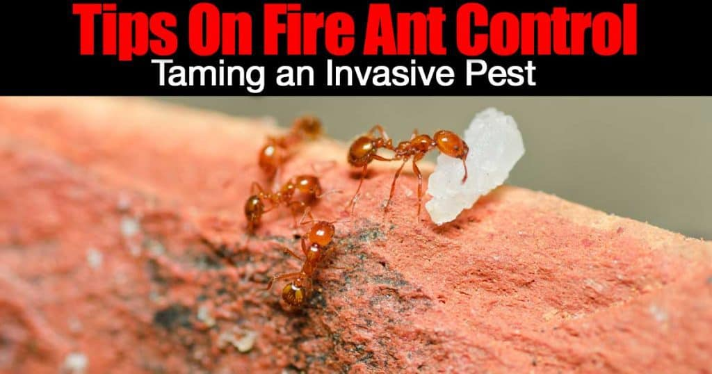 fire ant working gathering food