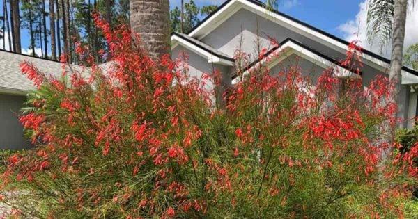flowering Firecracker Russelia Equisetiformis