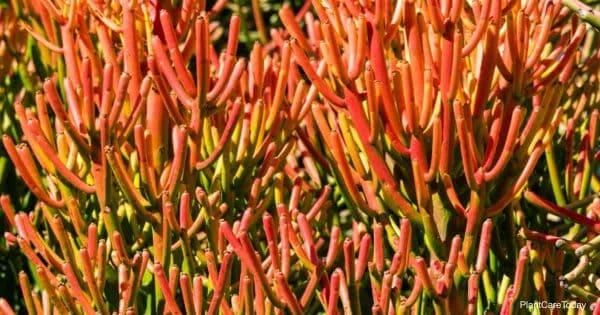 Red firestick plant