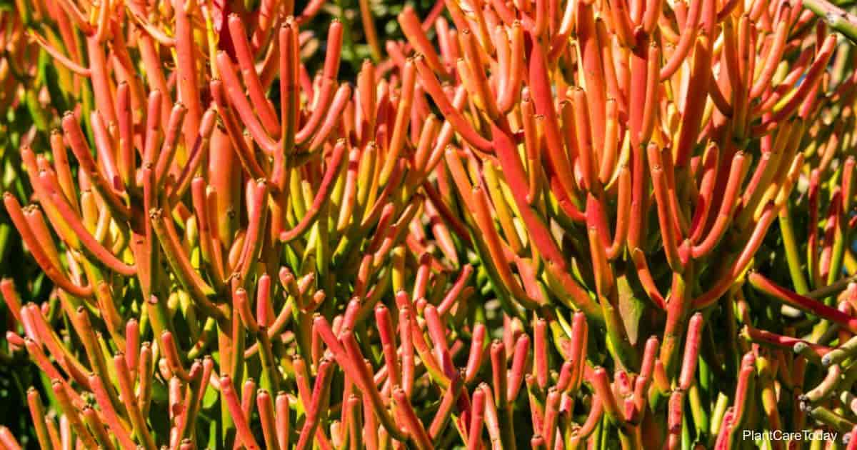 Red Pencil Cactus Firestick plant