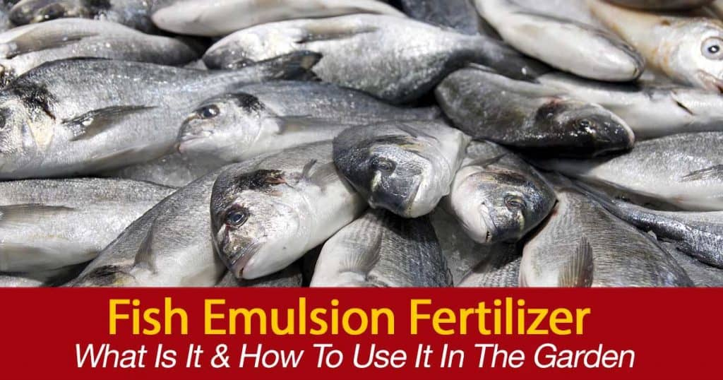 The whole fish and fresh fish are used in making fish emulsions liquid. Good for plants and good for soil health.