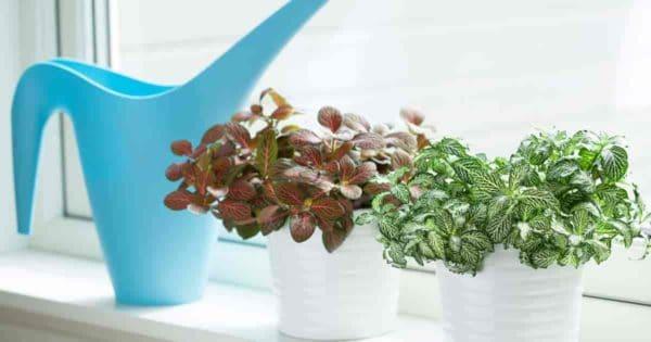 fittonia plants enjoy the bright light of a windowsill