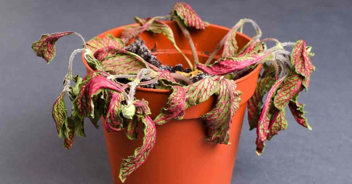 fittonia dead from lack of water