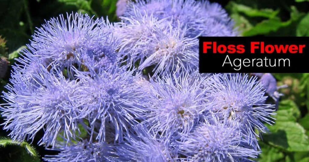 Blooms of the Floss Flower Ageratum