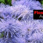Floss Flower: How To Care For Ageratum Houstonianum