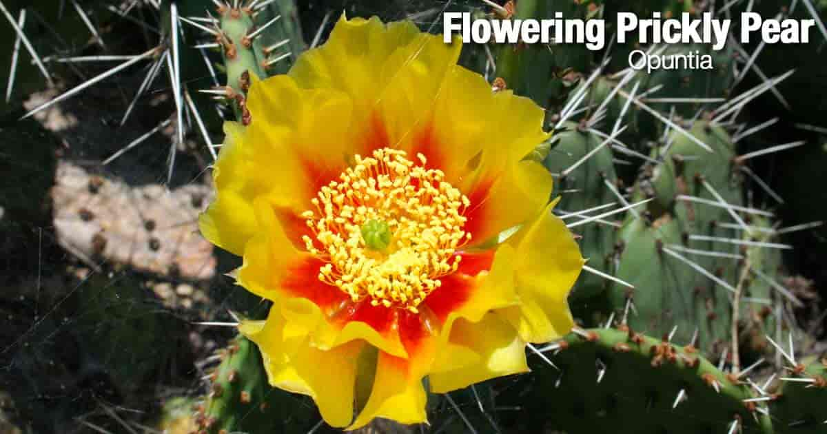 Flower of the Prickly Pear Cactus