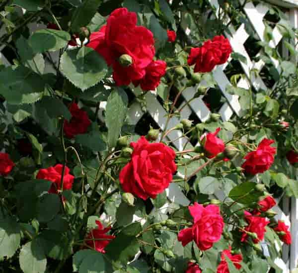 roses used as climbing plants for trellis flowers
