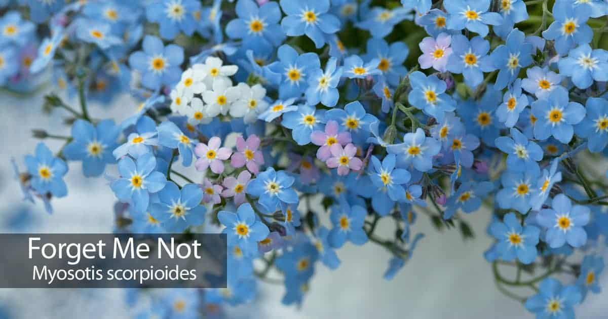 forget me not flowering