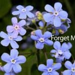 How To Grow And Care For The Forget-Me-Not Plant